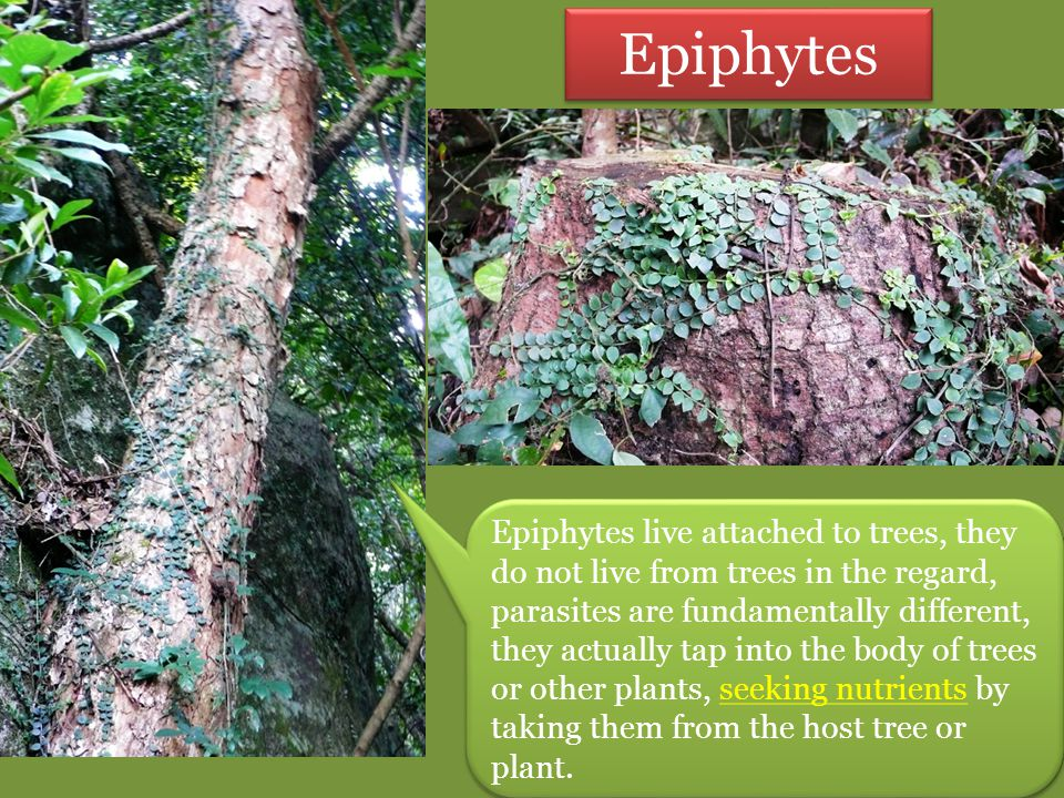 Epiphytes Epiphytes live attached to trees, they do not live from trees in the regard, parasites are fundamentally different, they actually tap into t