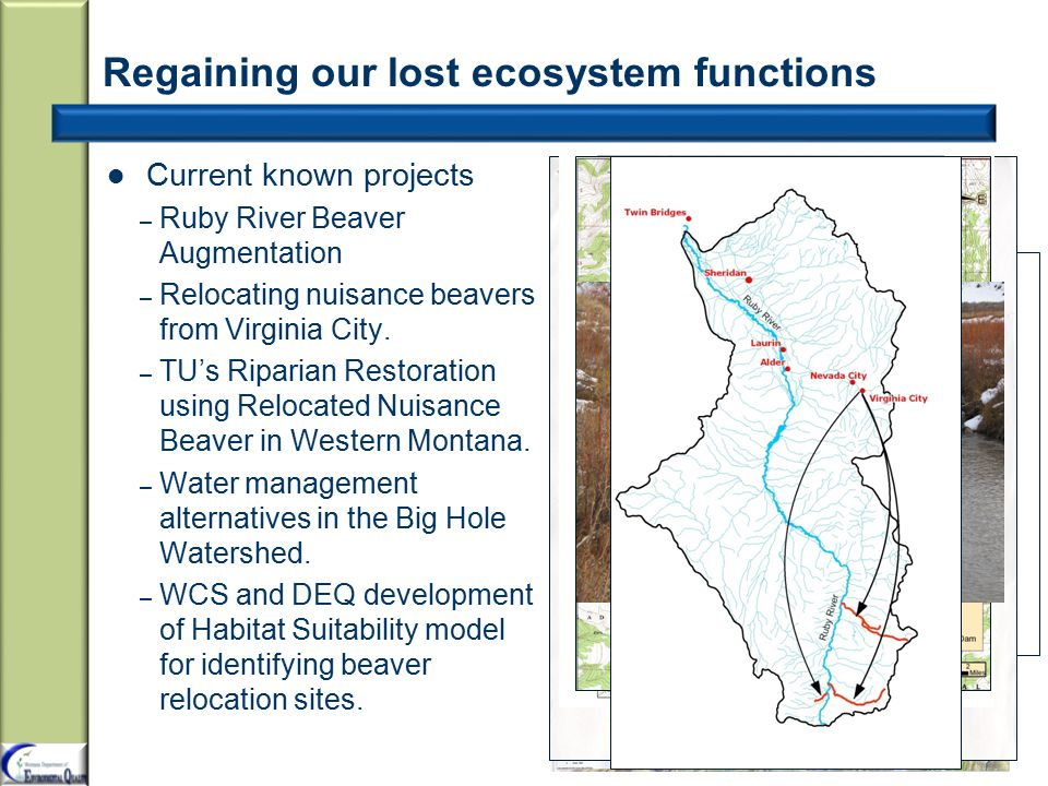 Regaining our lost ecosystem functions Current known projects – Ruby River Beaver Augmentation – Relocating nuisance beavers from Virginia City.