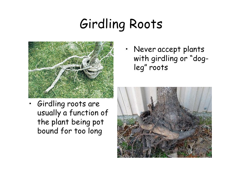 Girdling Roots Girdling roots are usually a function of the plant being pot bound for too long Never accept plants with girdling or dog- leg roots