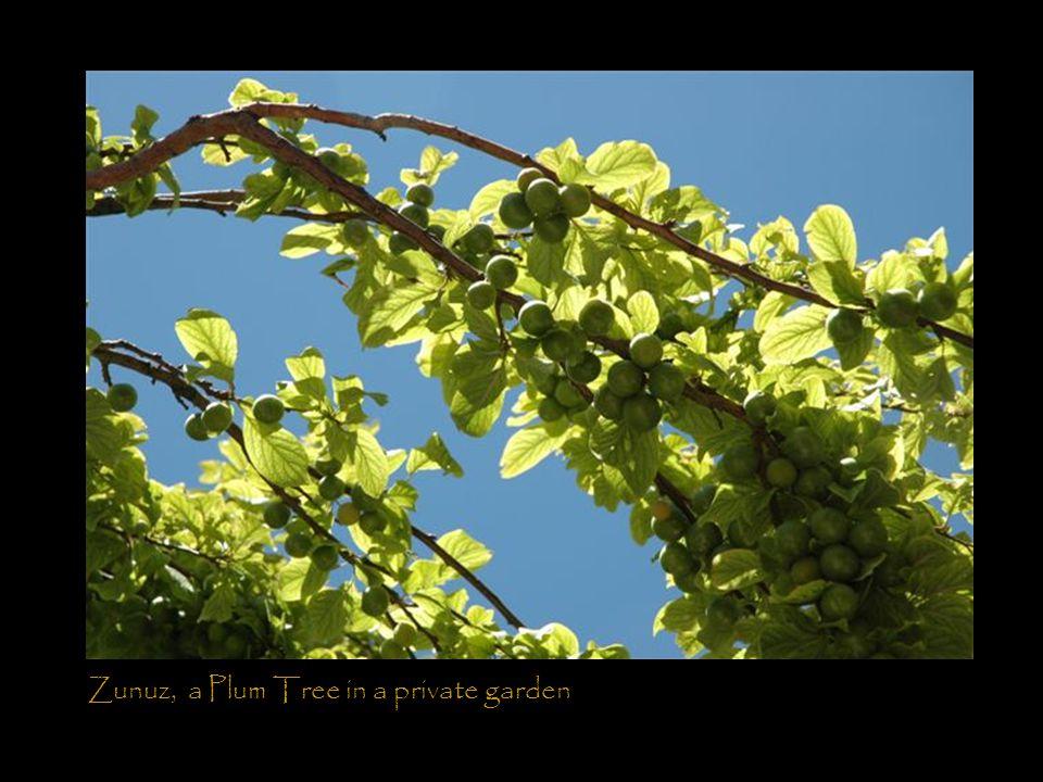 Zunuz, a Plum Tree in a private garden