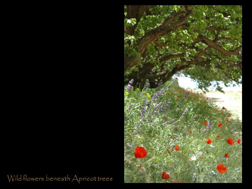 Wild flowers beneath Apricot trees