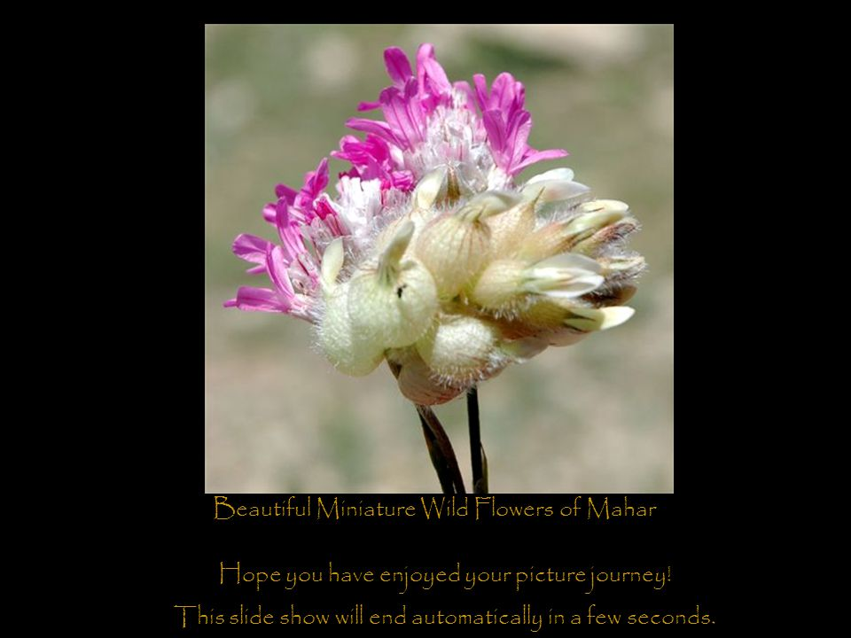 Beautiful Miniature Wild Flowers of Mahar Hope you have enjoyed your picture journey.