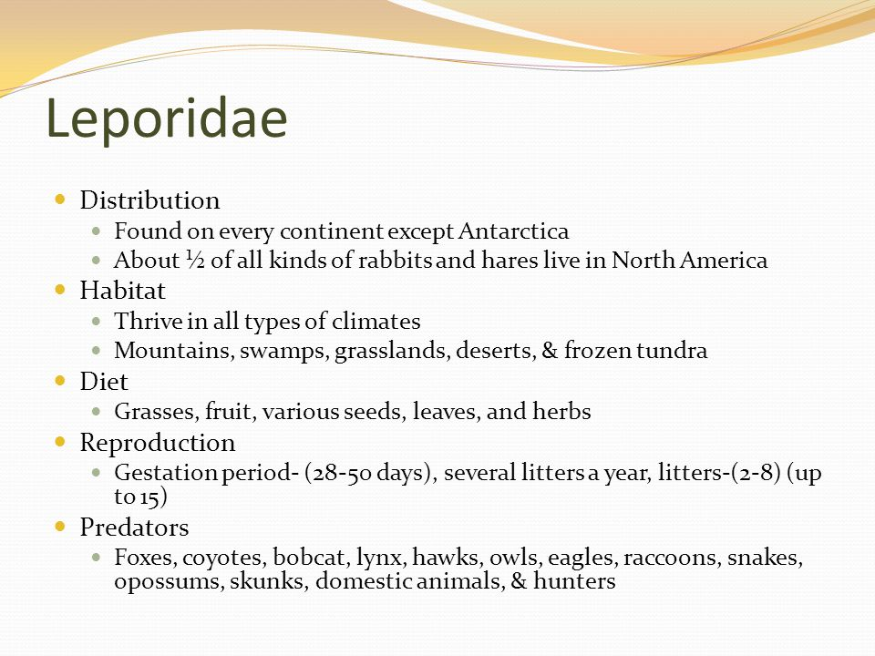 Leporidae Distribution Found on every continent except Antarctica About ½ of all kinds of rabbits and hares live in North America Habitat Thrive in all types of climates Mountains, swamps, grasslands, deserts, & frozen tundra Diet Grasses, fruit, various seeds, leaves, and herbs Reproduction Gestation period- (28-50 days), several litters a year, litters-(2-8) (up to 15) Predators Foxes, coyotes, bobcat, lynx, hawks, owls, eagles, raccoons, snakes, opossums, skunks, domestic animals, & hunters