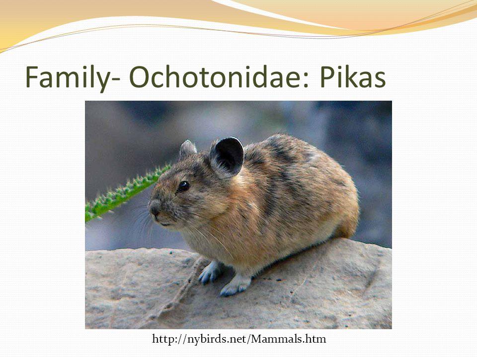 Family- Ochotonidae: Pikas http://nybirds.net/Mammals.htm