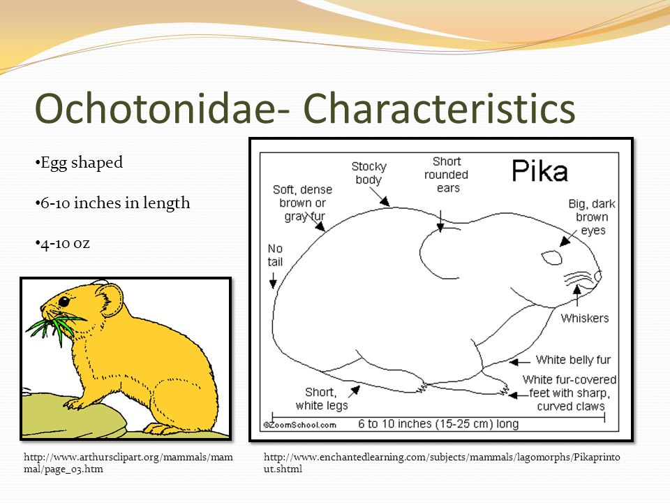 Ochotonidae- Characteristics http://www.enchantedlearning.com/subjects/mammals/lagomorphs/Pikaprinto ut.shtml Egg shaped 6-10 inches in length 4-10 oz http://www.arthursclipart.org/mammals/mam mal/page_03.htm