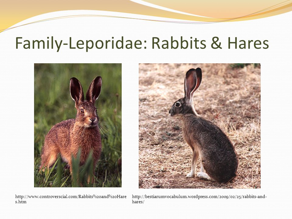 Family-Leporidae: Rabbits & Hares http://www.controverscial.com/Rabbits%20and%20Hare s.htm http://bestiarumvocabulum.wordpress.com/2009/02/25/rabbits-and- hares/