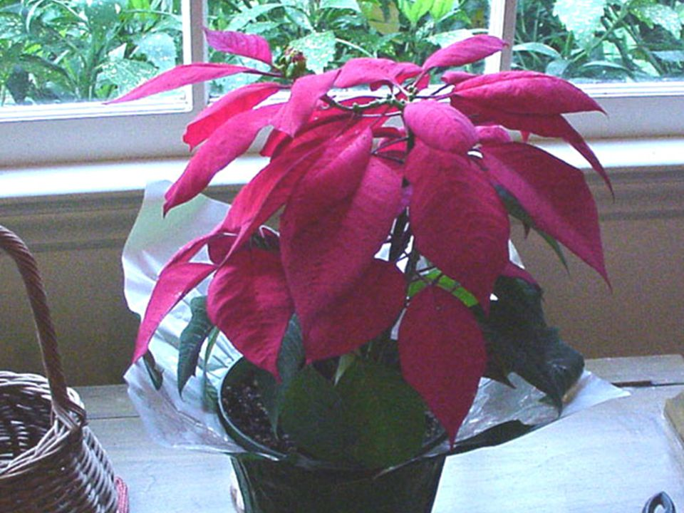COMMON NAME  Poinsettia