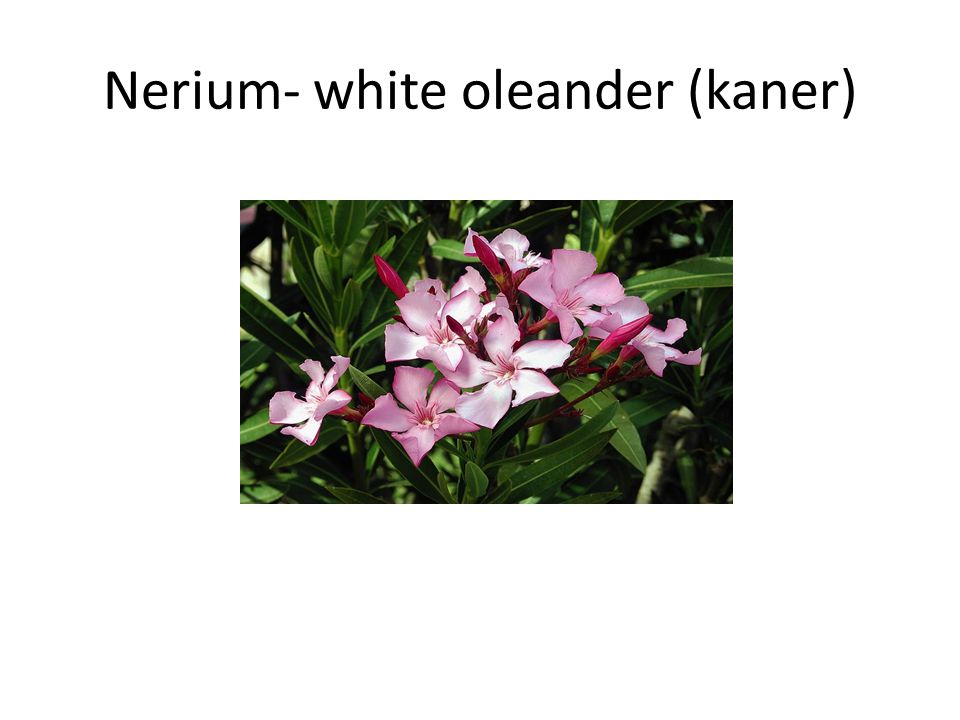 Dogbane family Ornamental shrub with white & pink flowers All parts are poisonous including the smoke while burning Used as an abortifacient, homicide and suicide Fatal dose – 15-20 gms of root Fatal period – 24 to 36 hrs