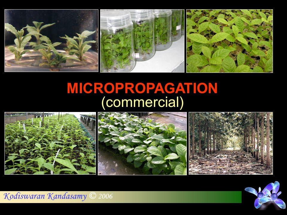 Kodiswaran Kandasamy © 2006 MICROPROPAGATION (commercial)
