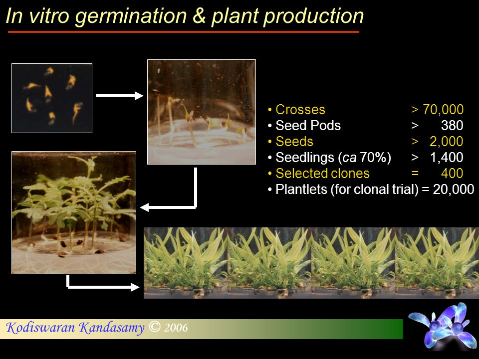 Kodiswaran Kandasamy © 2006 Crosses > 70,000 Seed Pods > 380 Seeds > 2,000 Seedlings (ca 70%)> 1,400 Selected clones = 400 Plantlets (for clonal trial