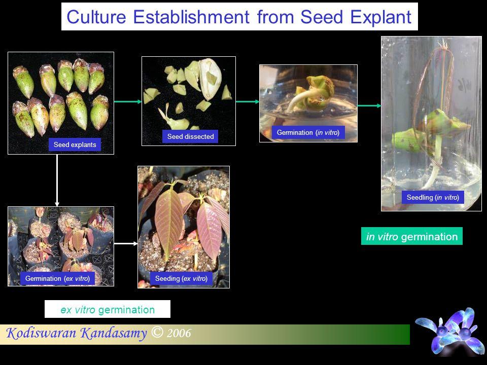 Kodiswaran Kandasamy © 2006 Culture Establishment from Seed Explant ex vitro germination in vitro germination Seed explants Seed dissected Germination