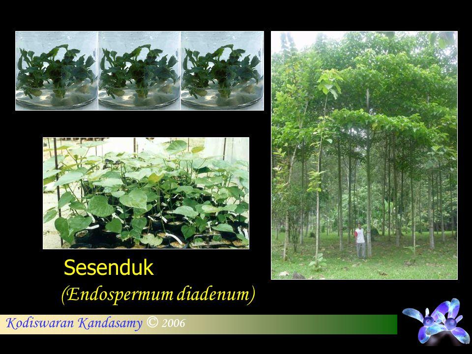 Kodiswaran Kandasamy © 2006 Sesenduk (Endospermum diadenum)