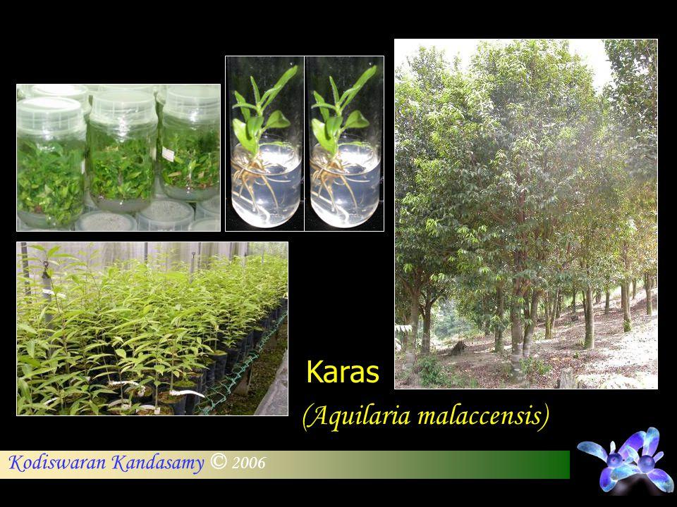 Kodiswaran Kandasamy © 2006 Karas (Aquilaria malaccensis)
