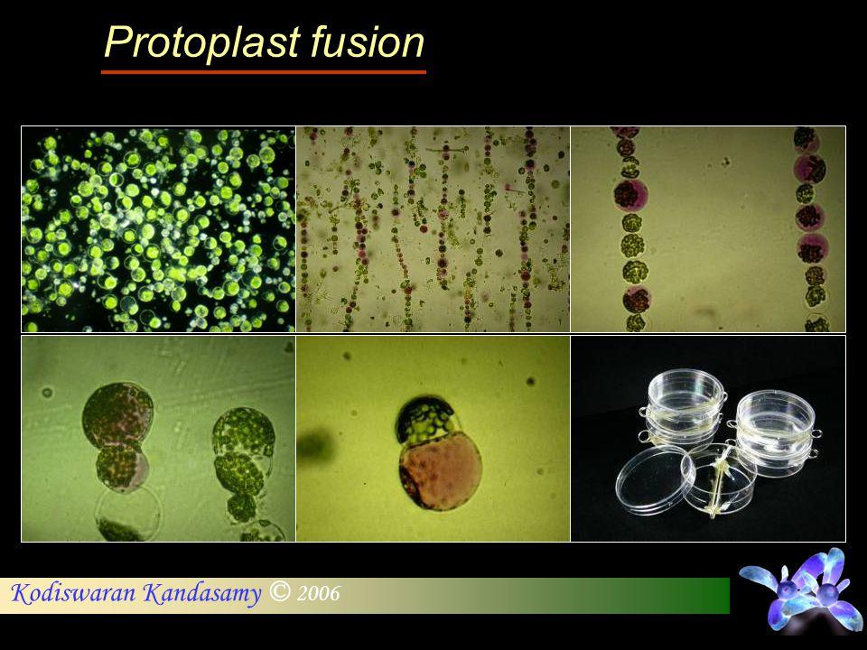 Kodiswaran Kandasamy © 2006 Protoplast fusion