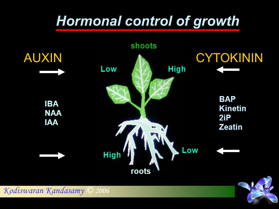 Kodiswaran Kandasamy © 2006 Hormonal control of growth AUXIN Low High IBA NAA IAA CYTOKININ High Low BAP Kinetin 2iP Zeatin shoots roots