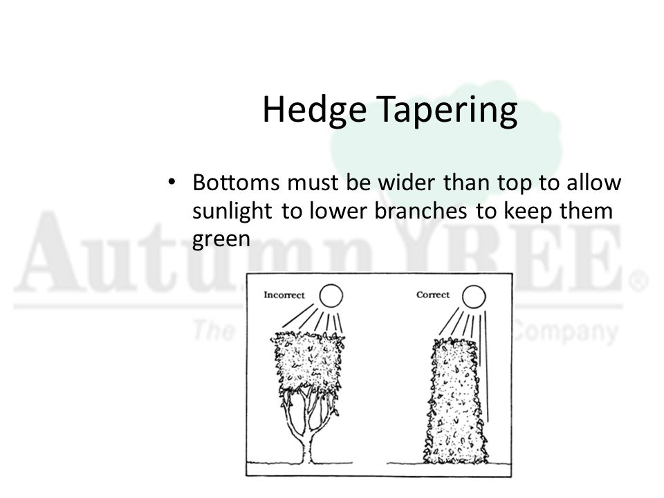 Hedge Tapering Bottoms must be wider than top to allow sunlight to lower branches to keep them green