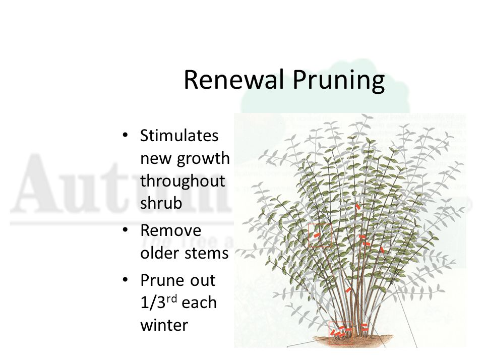 Renewal Pruning Stimulates new growth throughout shrub Remove older stems Prune out 1/3 rd each winter