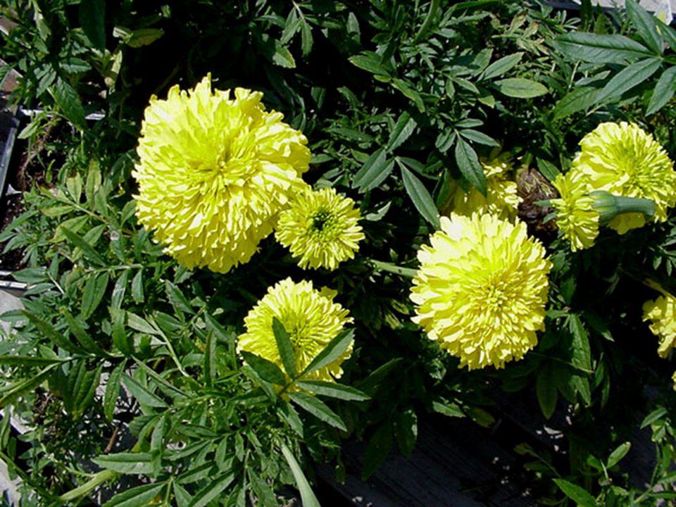 FLOWER  Spring to frost  Yellow, orange, white