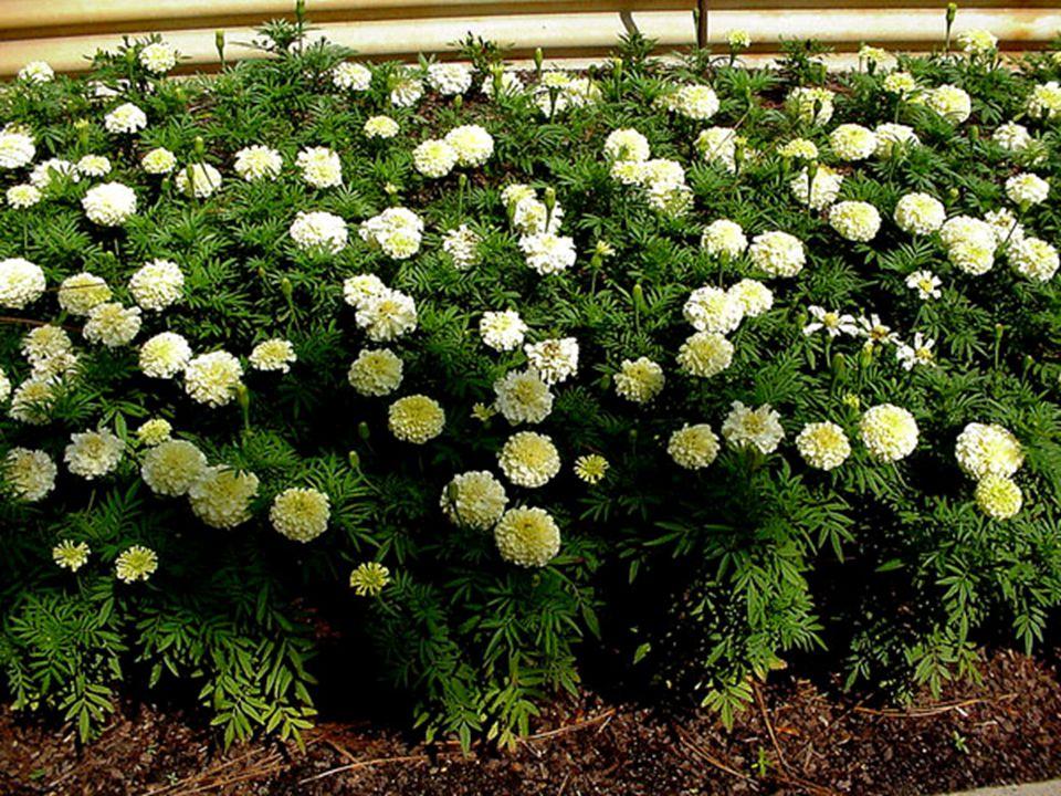 Growth Habit  Bedding Plant  Shrub-like