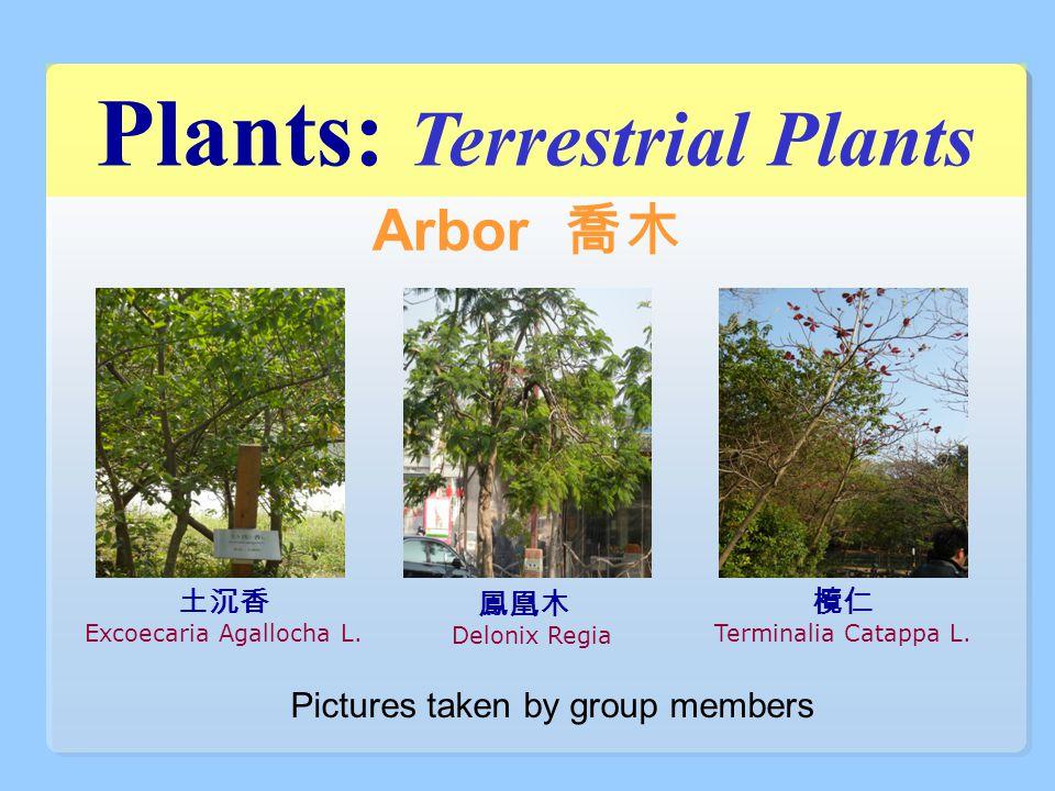 Arbor 喬木 土沉香 Excoecaria Agallocha L. 鳳凰木 Delonix Regia 欖仁 Terminalia Catappa L. Pictures taken by group members Plants: Terrestrial Plants