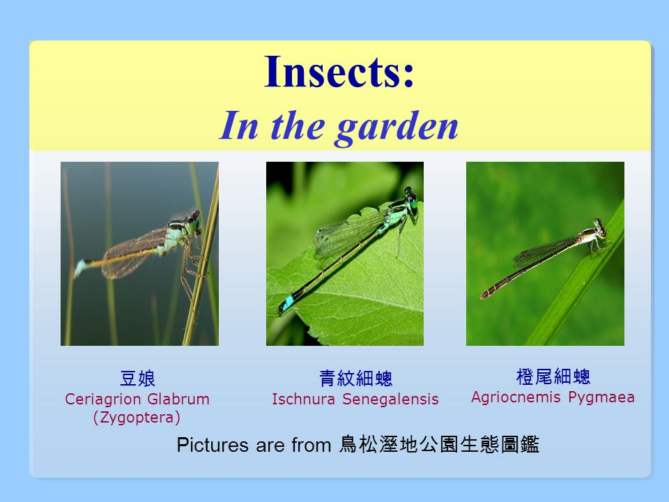Insects: In the garden 豆娘 Ceriagrion Glabrum (Zygoptera) 青紋細蟌 Ischnura Senegalensis 橙尾細蟌 Agriocnemis Pygmaea Pictures are from 鳥松溼地公園生態圖鑑