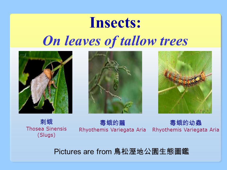 Insects: On leaves of tallow trees 毒蛾的繭 Rhyothemis Variegata Aria 刺蛾 Thosea Sinensis (Slugs) 毒蛾的幼蟲 Rhyothemis Variegata Aria Pictures are from 鳥松溼地公園生態圖鑑
