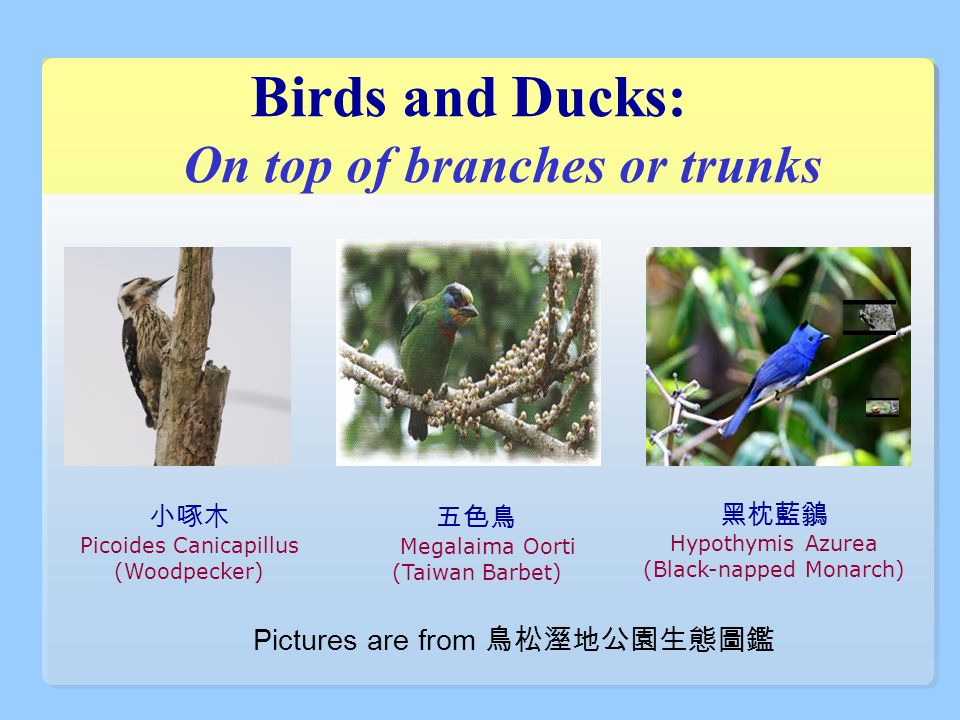 Birds and Ducks: On top of branches or trunks 黑枕藍鶲 Hypothymis Azurea (Black-napped Monarch) 五色鳥 Megalaima Oorti (Taiwan Barbet) 小啄木 Picoides Canicapillus (Woodpecker) Pictures are from 鳥松溼地公園生態圖鑑