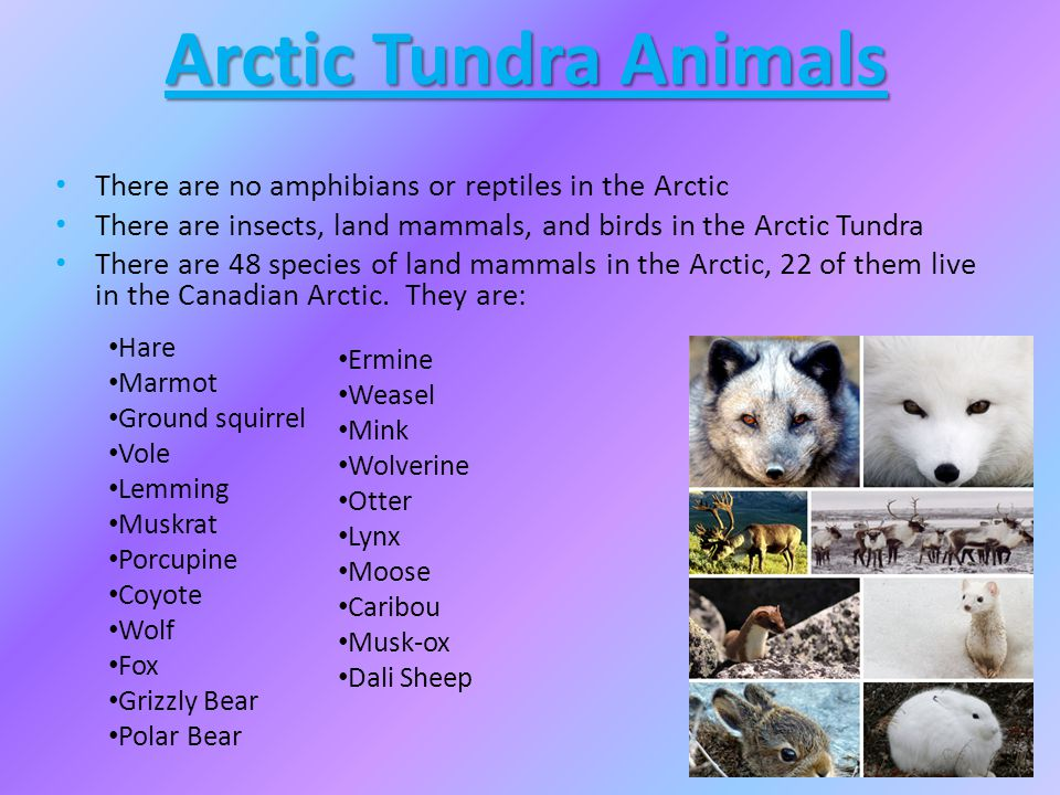 Arctic Tundra Animals There are no amphibians or reptiles in the Arctic There are insects, land mammals, and birds in the Arctic Tundra There are 48 s