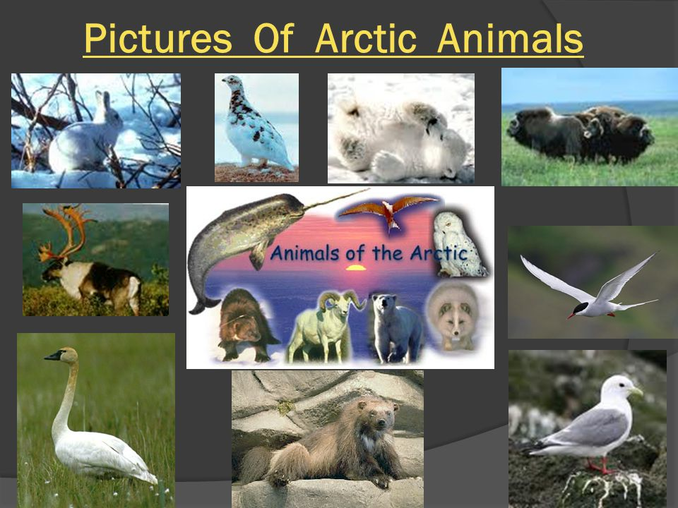 Endangered Species Two animals have become extinct in the Arctic.