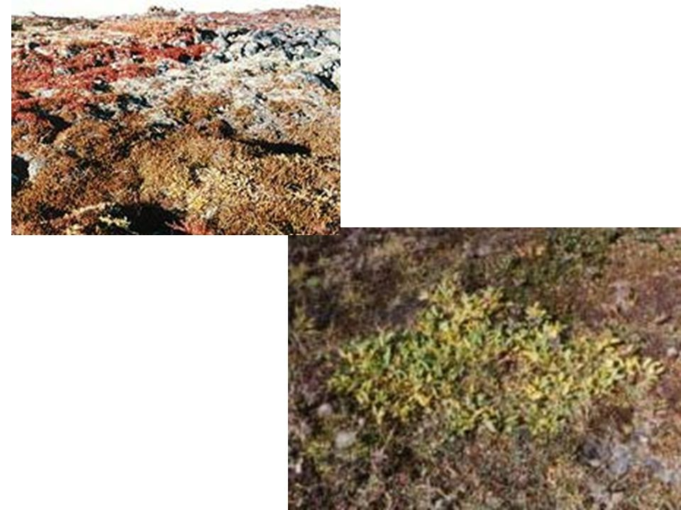 Tundra Biotic Factors Plants Mosses, dwarf shrubs, lichen, grasses Animals Musk oxen, wolves, caribou Abiotic Factors Permafrost, soil, little rainfall, cold temperatures Adaptations Low to the ground to stay warm.