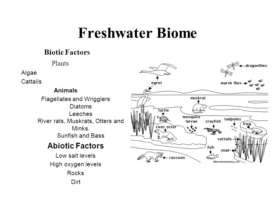 Biotic Factors Plants Algae Cattails Animals Flagellates and Wrigglers Diatoms Leeches River rats, Muskrats, Otters and Minks. Sunfish and Bass Abioti