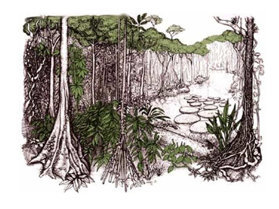 Rainforest Biotic Factors Animals 30,000,000 types of insects Arachnids (spiders) toucans, parrots- 3-toed sloth- Coral snake & poison arrow frog- Jaguars, gorillas, boa constrictors ½ the world's species of plants and animals Plants Largest variety of plants Abiotic Factors Little light reaches the ground Yearly rainfall – 400 cm(157.5 in) Average Temp Day - 93 F ; Night – 68 F Soil is thin and poor in nutrients Adaptations - insects on the forest floor are decomposers.