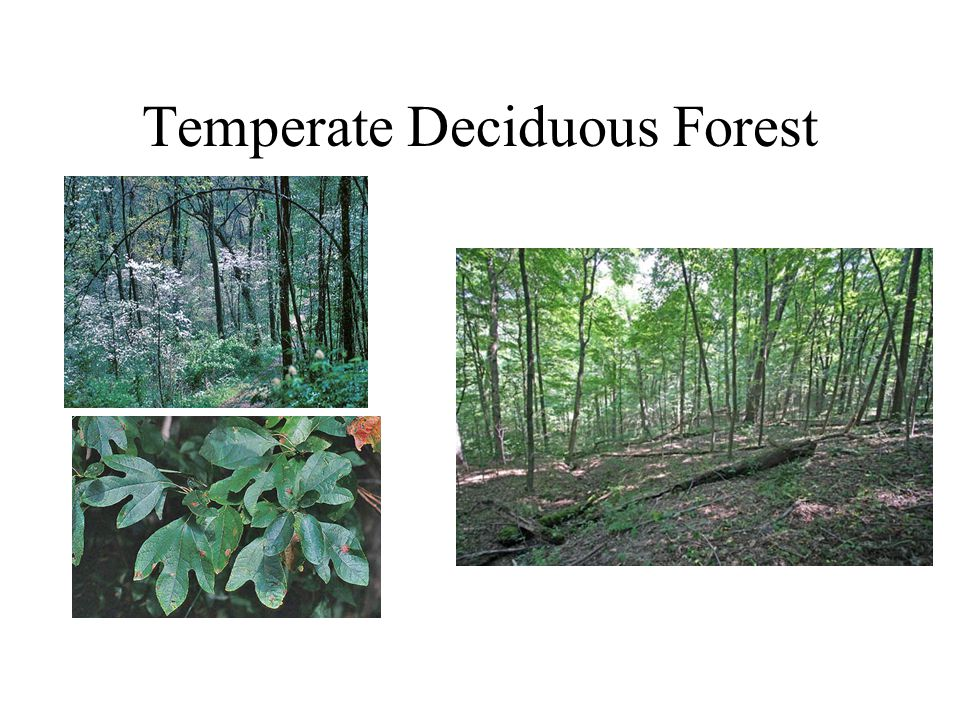 Abiotic Factors Mild temperatures average – summer 82 F winter – 45 F Plenty of rain Biotic Factors Animals Bears Snakes Birds Rabbits Deer squirrels Plants Ferns, mosses, flowering plants Trees – change colors in the fall and shed their leaves in the fall Adaptations Hibernate in the winter Migrate for the winter Store food for winter