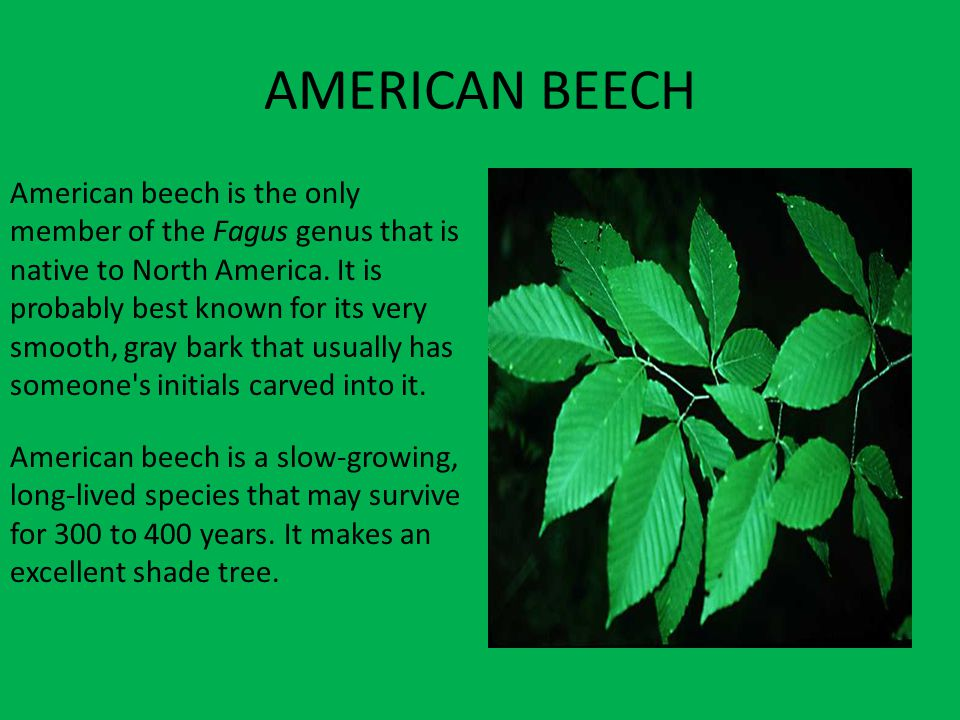 AMERICAN BEECH American beech is the only member of the Fagus genus that is native to North America.