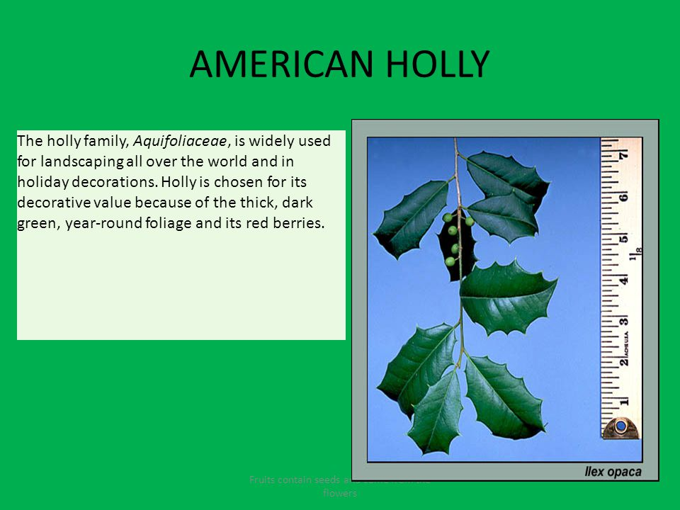 AMERICAN HOLLY Fruits contain seeds and come from the flowers The holly family, Aquifoliaceae, is widely used for landscaping all over the world and in holiday decorations.