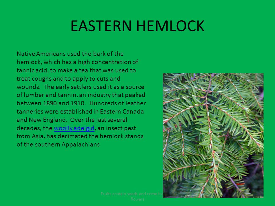 EASTERN HEMLOCK Fruits contain seeds and come from the flowers Native Americans used the bark of the hemlock, which has a high concentration of tannic acid, to make a tea that was used to treat coughs and to apply to cuts and wounds.