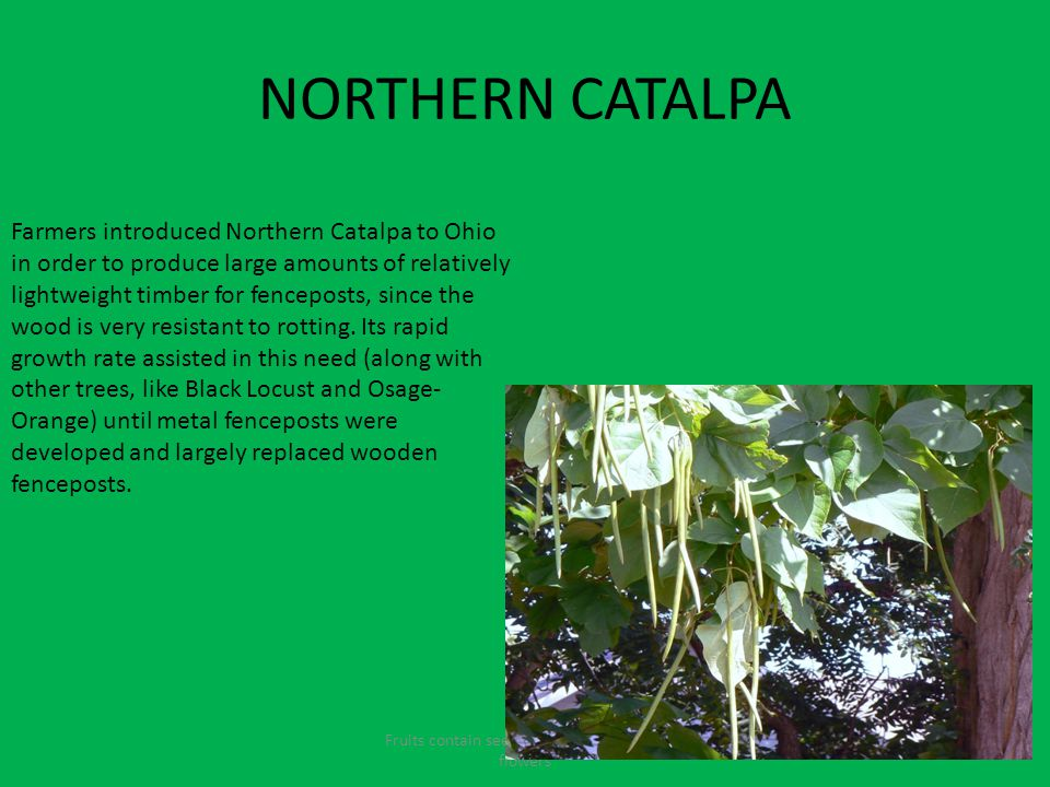 NORTHERN CATALPA Fruits contain seeds and come from the flowers Farmers introduced Northern Catalpa to Ohio in order to produce large amounts of relatively lightweight timber for fenceposts, since the wood is very resistant to rotting.
