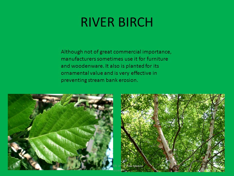 RIVER BIRCH Fruits contain seeds and come from the flowers Although not of great commercial importance, manufacturers sometimes use it for furniture and woodenware.