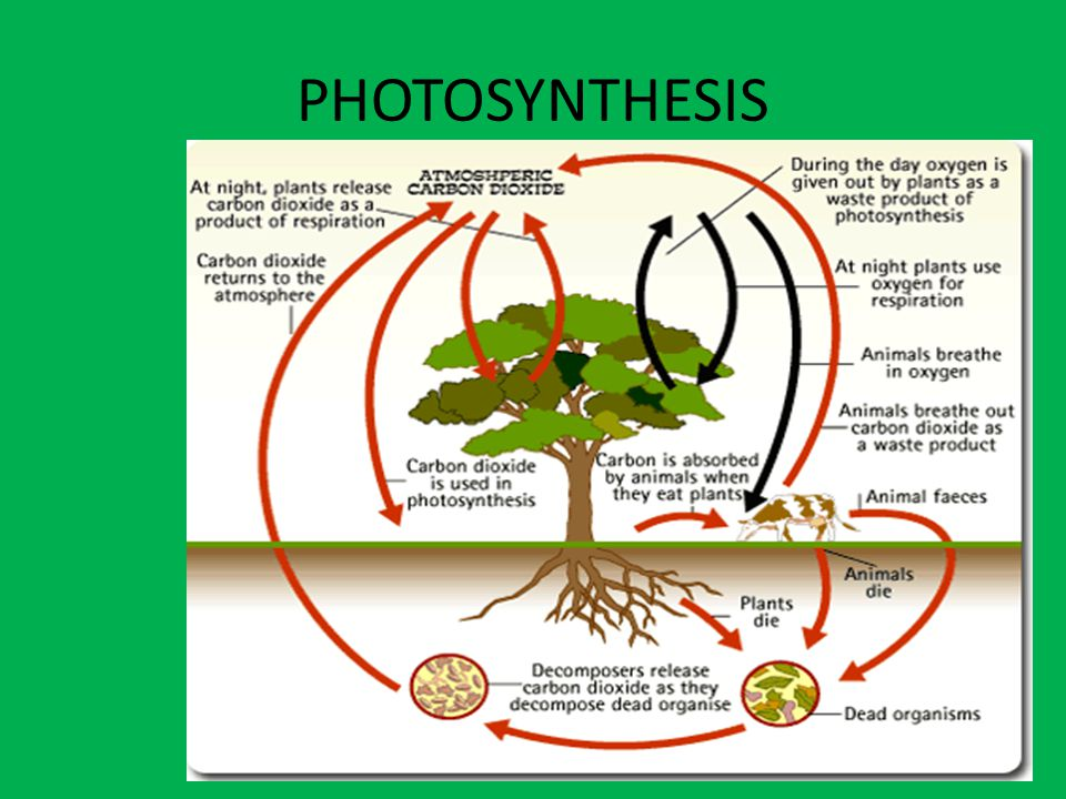 PHOTOSYNTHESIS Fruits contain seeds and come from the flowers