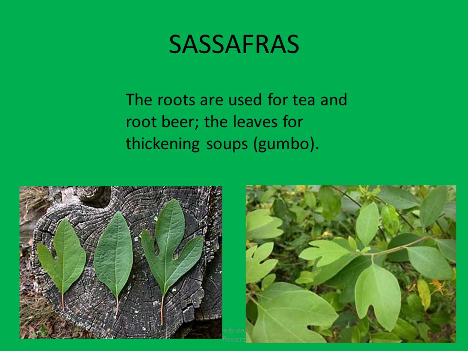 SASSAFRAS Fruits contain seeds and come from the flowers The roots are used for tea and root beer; the leaves for thickening soups (gumbo).
