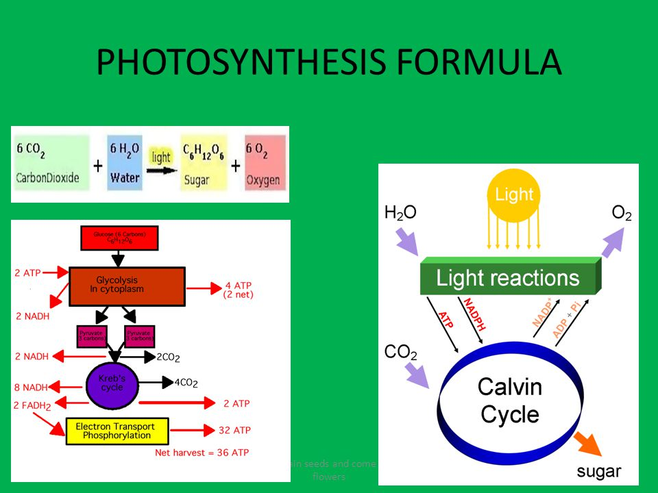 PHOTOSYNTHESIS FORMULA Fruits contain seeds and come from the flowers