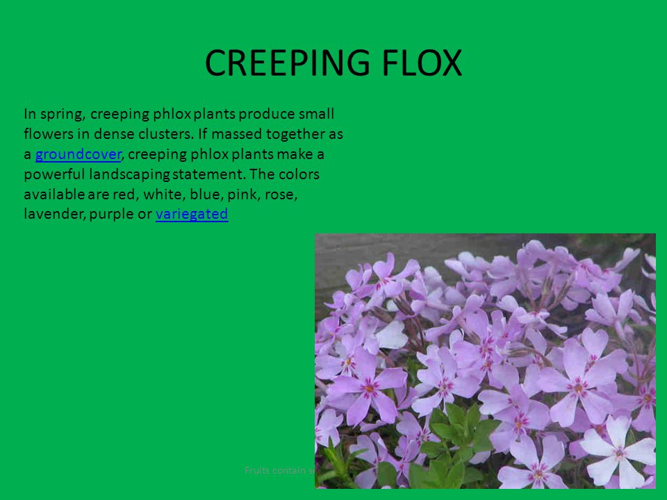 CREEPING FLOX Fruits contain seeds and come from the flowers In spring, creeping phlox plants produce small flowers in dense clusters.