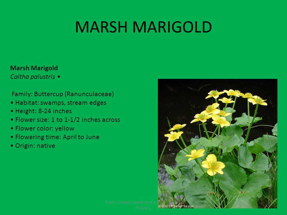 MARSH MARIGOLD Fruits contain seeds and come from the flowers Marsh Marigold Caltha palustris Family: Buttercup (Ranunculaceae) Habitat: swamps, stream edges Height: 8-24 inches Flower size: 1 to 1-1/2 inches across Flower color: yellow Flowering time: April to June Origin: native