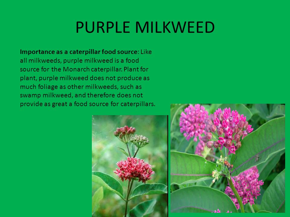 PURPLE MILKWEED Fruits contain seeds and come from the flowers Importance as a caterpillar food source: Like all milkweeds, purple milkweed is a food source for the Monarch caterpillar.