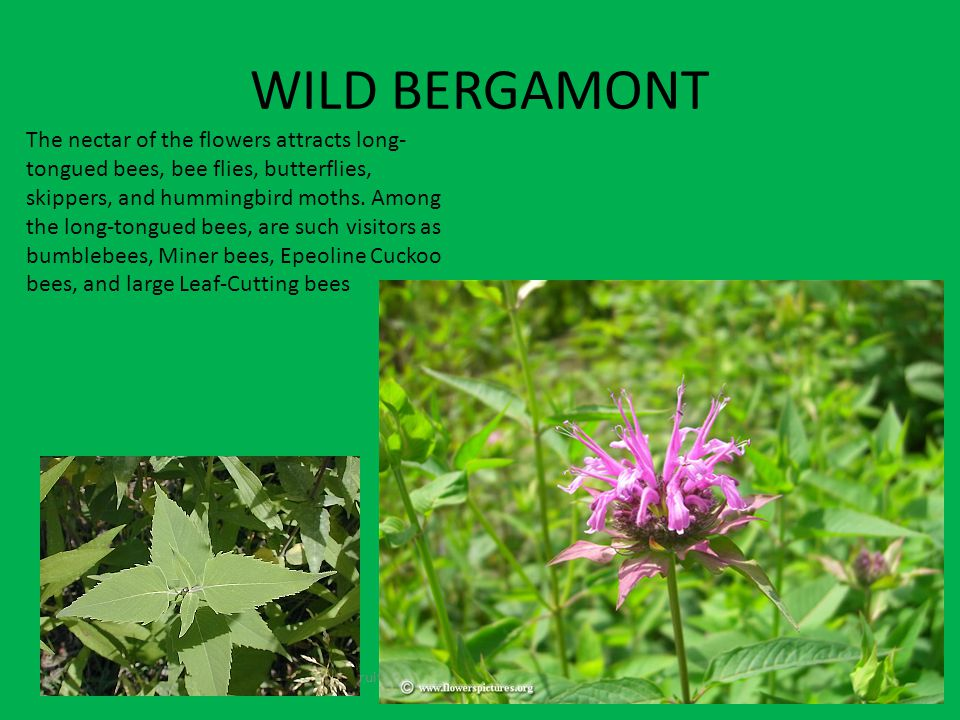 WILD BERGAMONT Fruits contain seeds and come from the flowers The nectar of the flowers attracts long- tongued bees, bee flies, butterflies, skippers, and hummingbird moths.