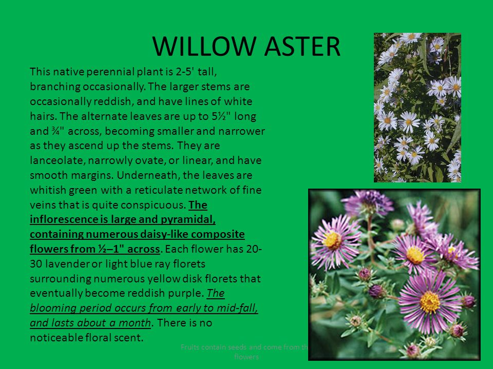 WILLOW ASTER Fruits contain seeds and come from the flowers This native perennial plant is 2-5 tall, branching occasionally.