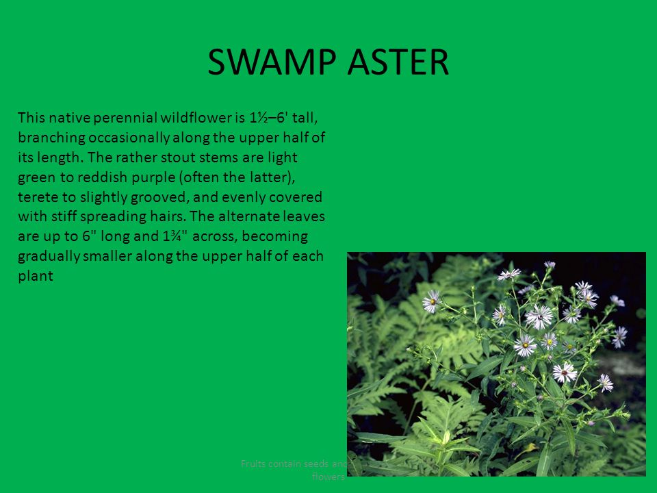SWAMP ASTER Fruits contain seeds and come from the flowers This native perennial wildflower is 1½–6 tall, branching occasionally along the upper half of its length.