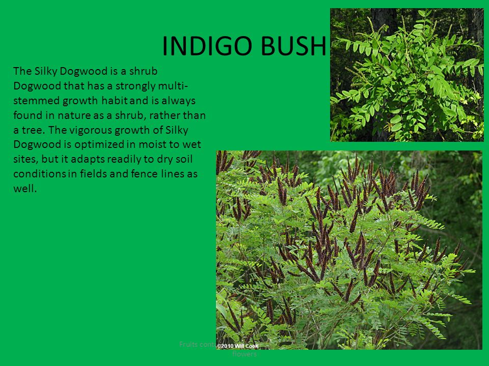 INDIGO BUSH Fruits contain seeds and come from the flowers The Silky Dogwood is a shrub Dogwood that has a strongly multi- stemmed growth habit and is always found in nature as a shrub, rather than a tree.