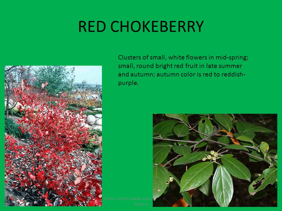 RED CHOKEBERRY Fruits contain seeds and come from the flowers Clusters of small, white flowers in mid-spring; small, round bright red fruit in late summer and autumn; autumn color is red to reddish- purple.