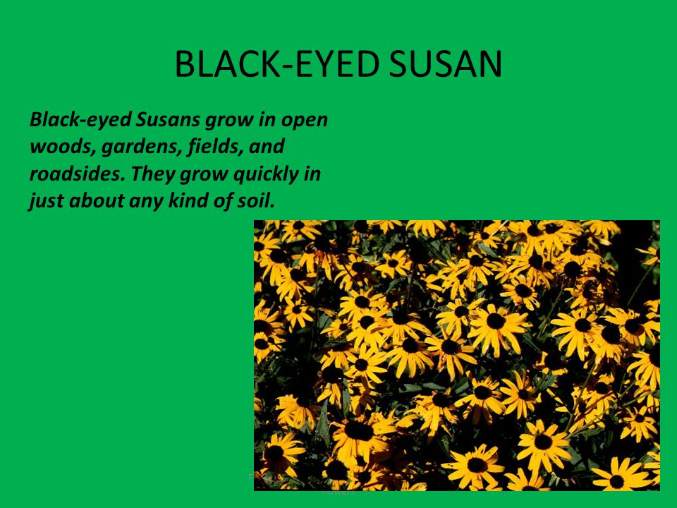 BLACK-EYED SUSAN Fruits contain seeds and come from the flowers Black-eyed Susans grow in open woods, gardens, fields, and roadsides.